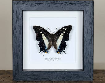 Jupiter Nawab Butterfly in Box Frame (Polyura jupiter)
