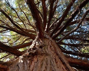 California Incense Cedar Tree Seeds (Calocedrus decurrens)  15+Seeds
