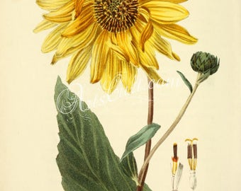 flowers-31865 - Shagreen-leaved Sunflower, helianthus atrorubens, Purpledisc sunflower, native southeastern USA vintage illustration picture