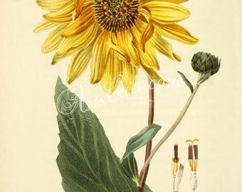 flowers-31865 - Shagreen-leaved Sunflower, helianthus atrorubens, Purpledisc sunflower, native southeastern USA vintage illustration picture