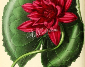flowers-26004 - Red-flowered Water-Lily, nymphaea rubra vintage digital illustration of waterlily water lily instant download Holden artwork