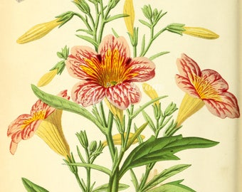 flowers-28064 - salpiglossis digital downloadable illustration from antique book floral botanical paper plant picture image high resolution