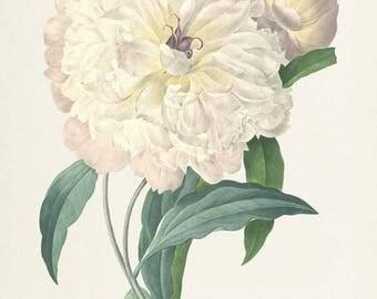 Peony Flower Art Print, Peony Botanical Art Print, Flower Wall Art, Flower Print, Floral Print, Redoute Art, white, green, Paeonia flagrans