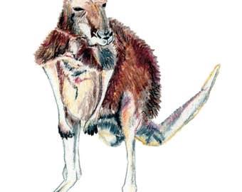 Kangaroo - Postcard