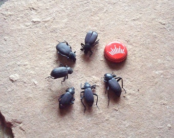 6 Real Black Scarab Dung Beetles Bugs for Assemblage Crafts Art Projects