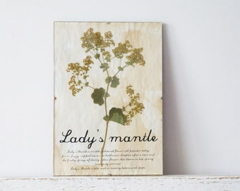 Pressed Flowers- Lady's Mantle in Frame (1)