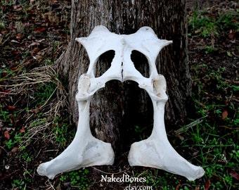 Cow Bones - Genuine Bovine Pelvic Bone - Real Natural Bone - Intact Cow Pelvis - Large Animal Bone