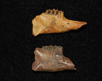 Two Fossilized Rabbit Mandibles - Pleistocene 10,000 - 1.8 million Years