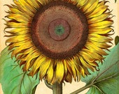 Private Listing — Hand Colored Antique Botanical Sunflower by Besler in the A4 without the white border