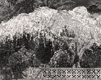 Cherry Blossom Tree (Black & White) Instant Photo Download, Insta-Photo, Nature Photography, Black and White, B/W, Japanese, Garden
