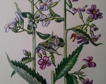 Rocket, antique botanical litho print, 1954
