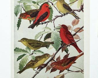 Vintage Print Birds North America Color Book Illustration - 1950s