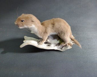 TAXIDERMY Adult Weasel (no:40) Mounted On Driftwood. Mouth Open. Total height 12cm. Stoat family.