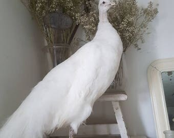 SOLD! Peacock white Female Shabby Brocante White Peacock taxidermy preparation