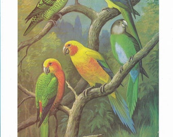 Beautiful Vintage 1970s Book Plate of Conures and Parakeets - Perfect for Framing - Plate IX - Vintage Bird Print
