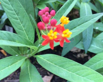 8 Live Milkweed Plants Butterfly Garden 1-4 inches