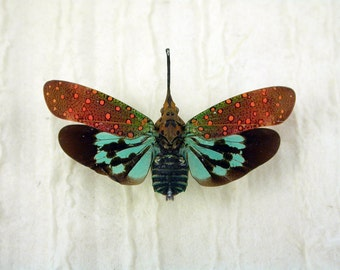 Brightly-Colored Butterfly Bug - Fulgorid- Saiva gemmata -Real Framed Insect -Lanternfly