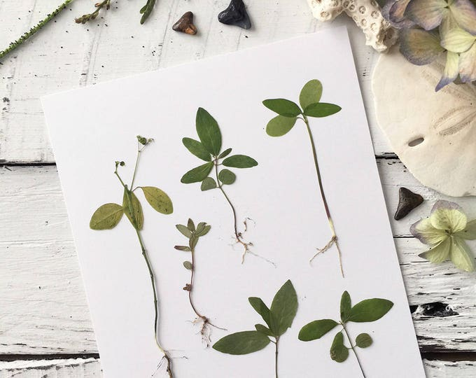 Real Pressed Flowers:  Natural Florida Botanical Specimens > Complete w. Leaves & Roots > Dye Free - Biodegradable
