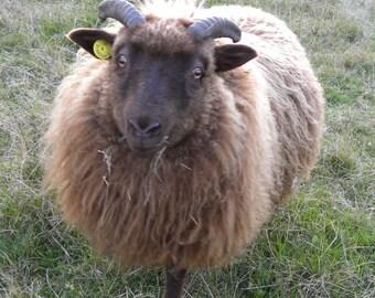 Sale! 2016 Fall Fleece--Moorit lamb