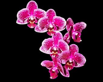 Orchids #6 - Pink on Black Background - Photographic Print on Glossy Paper or Vibrant Metal - Contemporary Fine Art Photography