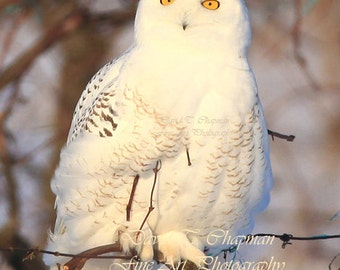 Snowy Owl in the Vineyard