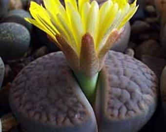 Lithops Pseudotruncatella Succulent