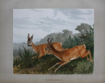 old antique print roe deer 1897