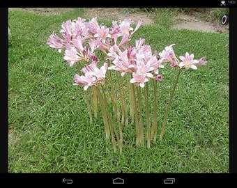 resurrection lily planting instructions