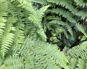 Sord Fern atrium plant for relaxing live arrangement fairy terrarium planting live sword fern
