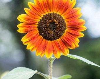 Sunflower Series 3/4 - Vertical