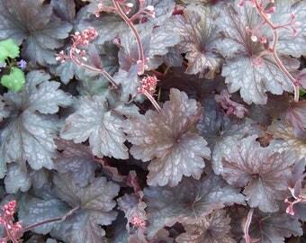 Heuchera Micrantha Palace Purple (50+ Seeds)