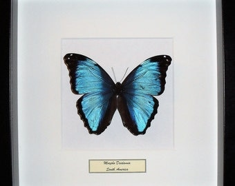 Mounted butterfly in frame Morpho Deidamia