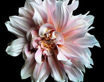 Pink, Flower Prints, Photography, Wall Art, Home Decor, Botanical Art Prints, Large Poster Prints, Unframed Art, Dahlia, 'Floral Frosting'.