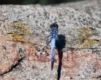 Blue Skimmer (Dragonfly)