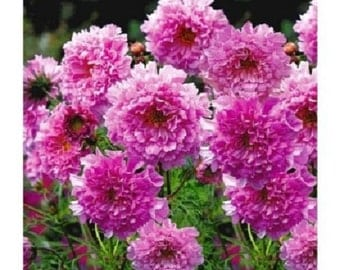 40+ Cosmos Double Pink Rose / Annual Flower Seeds