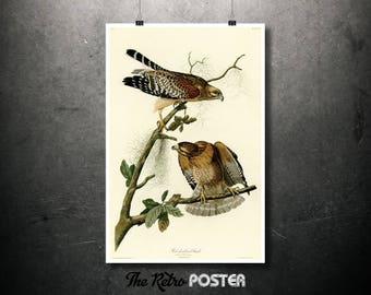 Red Shouldered Hawk - 1837 Birds of America by John James Audubon - Nature Prints, Bird Art, Bird Print, Botanical Poster Vintage, Kitchen