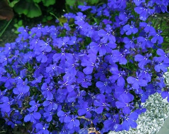 Free Shipping !! Lobelia ( Lobelia erinus ) + 130 seeds , 0,2 grams . Exotic flower