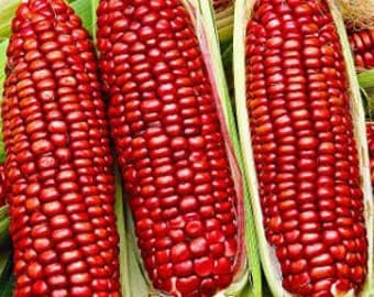 Bloody Butcher Corn 10 Seeds - Organic, NON GMO,tasty,roasting,frying