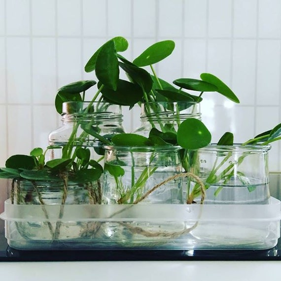 pilea peperomioides pancake plant chinese money plant