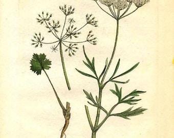 anis herb, dried (20 g / 0.7 oz or 50 g / 1.76 oz)