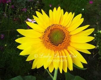 Sunflower photo Yellow Flower photo Garden photo Fine art photo Digital Photography Commercial use photo Botanical Photo Desktop Wallpapers