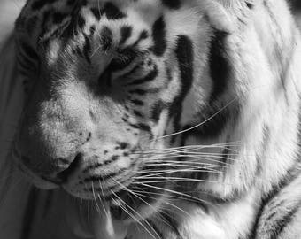 Close up White Tiger - blue eyed tiger, black and white photography, home decor, animals, tigers, nature, bathroom bedroom, kitchen