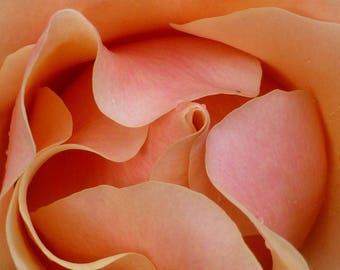 Unfurling Peach and Pink Rose, Macro, Photo print, wall art