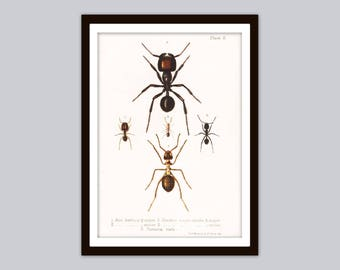 1888 ANTS Rare Antique Entomological Print | Red Wood Ant Illustration | Insects Art, Colour Bug Poster, Natural History Wall Decor