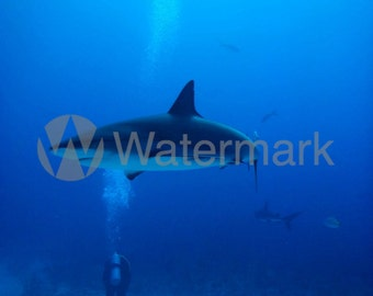 Reef Shark Digital Image (Rights Reserved). Photograph Of Reef Shark And People In The Bahamas.