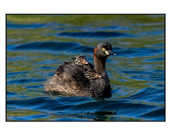 Australasian Grebe - Any Occasion Card (5x7)