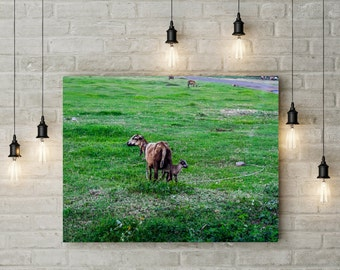Goat and Kid in Grenada, West Indies Large Canvas Photography Wall Art
