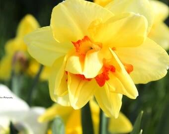 Spring Photo - Yellow Flower - Detroit Photo - Nature Photo - Wall Art - Decor - Digital Download - Seasons - Spring - Flowers