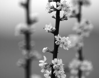 Straightness, Photo of Some Delicate, Budding Flowers on a Branch, Wall Art, Print