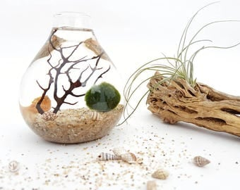 Marimo Terrarium Kit Aquatic Plant Jo Bud Vase DIY Kit for Office Decor, Home Decor, Friend Gift, Coworker Gift